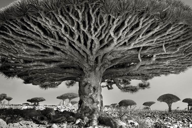 Ancient Trees – A photographer captures the oldest trees around the world