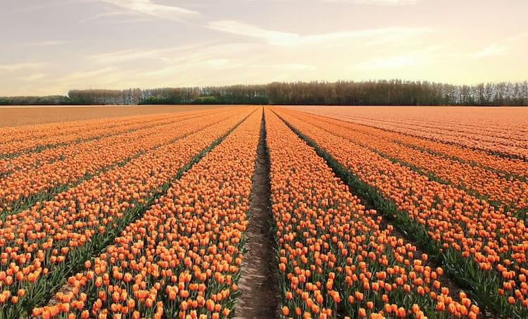 Stunning Landscape Photos of Holland When 7 Million Tulips Bloom All at Once